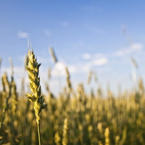 La loi de la semence