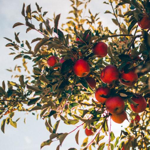 Rachetee de la pomme